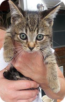 Maine Coon Kitten for adoption in West Palm Beach, Florida - Rudi