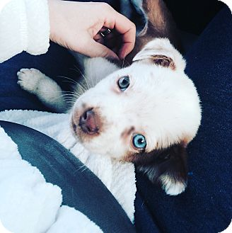 Australian Shepherd/Boxer Mix Puppy for adoption in Eden Prairie, Minnesota - Harley