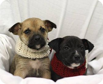 Boxer/Labrador Retriever Mix Puppy for adoption in South Haven, Michigan - Rachel and Joey