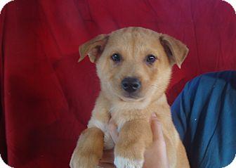 Australian Shepherd/Golden Retriever Mix Puppy for adoption in Oviedo, Florida - Brave