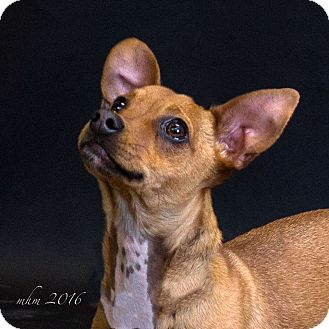 Chihuahua/Dachshund Mix Puppy for adoption in Naperville, Illinois - Tuck