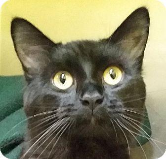 Domestic Longhair Cat for adoption in Adrian, Michigan - Apollo