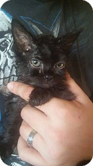 Domestic Mediumhair Kitten for adoption in Locust, North Carolina - Sasha