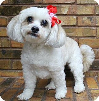 Lhasa Apso Mix Dog for adoption in Benbrook, Texas - Sadie
