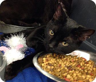 Siamese Cat for adoption in Cameron, North Carolina - Black Jax