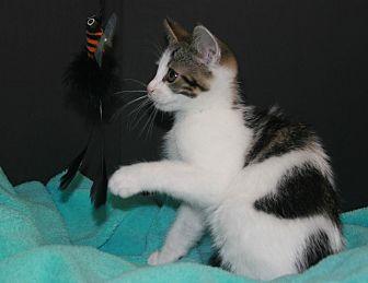 Domestic Mediumhair Kitten for adoption in Riverside, California - Alex
