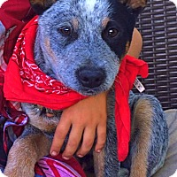 Adopt A Pet :: Adorable Ranger - Woodland Hills, CA