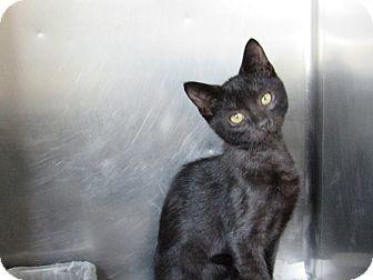Domestic Shorthair Kitten for adoption in Windsor, Virginia - Casey