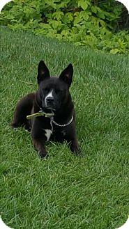 Cattle Dog/Labrador Retriever Mix Dog for adoption in El Cajon, California - Marco