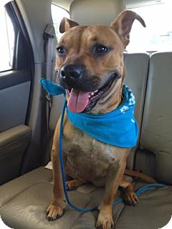 Pit Bull Terrier/Australian Cattle Dog Mix Dog for adoption in Wichita, Kansas - Nala