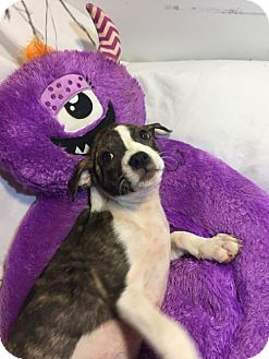 Pit Bull Terrier Mix Puppy for adoption in Hillsboro, Missouri - Carol
