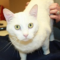 Domestic Shorthair Cat for adoption in Cottageville, West Virginia - Snowbell