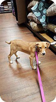 Feist/Feist Mix Puppy for adoption in Byhalia, Mississippi - Ellie