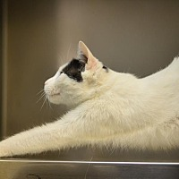 Adopt A Pet :: Mew Mew - Beacon, NY