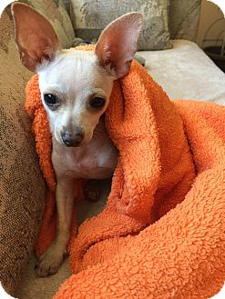 Chihuahua Mix Puppy for adoption in Thousand Oaks, California - Hercules