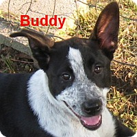 Adopt A Pet :: Buddy-I could be your Buddy! - Marlborough, MA