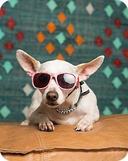 Chihuahua Mix Dog for adoption in San Francisco, California - Hobbes