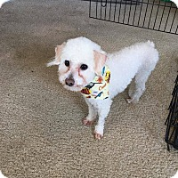 Adopt A Pet :: Snowball - Fountain Valley, CA