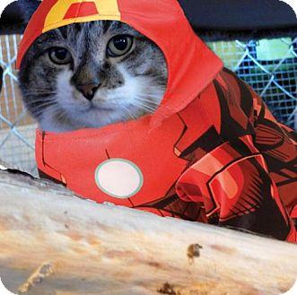 Domestic Shorthair Cat for adoption in Aurora, Colorado - Iron Man