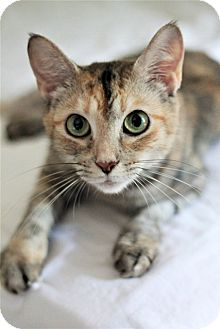 Domestic Shorthair Cat for adoption in Knoxville, Tennessee - Frizzle
