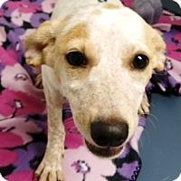 Adopt A Pet :: Sparkle - Casa Grande, AZ