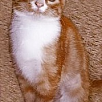 Domestic Shorthair Cat for adoption in St. Louis, Missouri - Essie