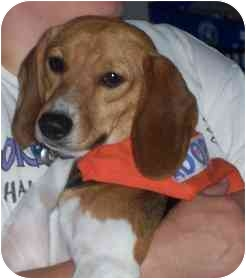 Beagle Dog for adoption in Portland, Ontario - Angel