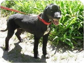Spaniel (Unknown Type)/Labrador Retriever Mix Dog for adoption in Northville, Michigan - Buster B
