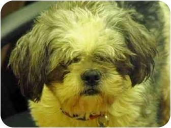 Shih Tzu Mix Dog for adoption in Calgary, Alberta - Chico