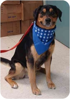 Rottweiler Mix Dog for adoption in Houghton, Michigan - Harvey