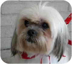 Lhasa Apso Mix Dog for adoption in PRINCETON, New Jersey - Silver
