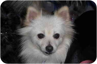Pomeranian Dog for adoption in Rigaud, Quebec - Muffy