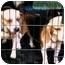Photo 2 - Beagle Dog for adoption in Muskogee, Oklahoma - Leo