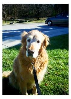 Golden Retriever Dog for adoption in Salem, New Hampshire - Macy