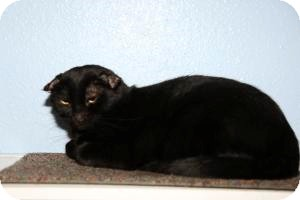 Domestic Shorthair Cat for adoption in Gilbert, Arizona - Rocky