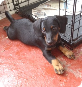 Dachshund/Jack Russell Terrier Mix Puppy for adoption in Richmond, Virginia - Smitty
