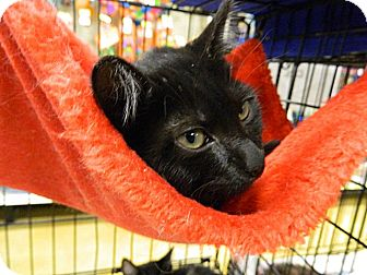 Domestic Shorthair Cat for adoption in The Colony, Texas - Figi
