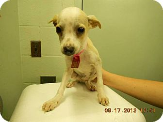 Chihuahua Puppy for adoption in Charlotte, North Carolina - A..  Rusty  - adoption pending