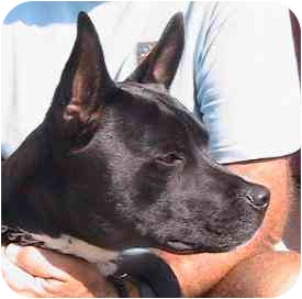 Canaan Dog/Pit Bull Terrier Mix Dog for adoption in Berkeley, California - Buddy
