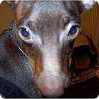 Adopt A Pet :: Remington - Florissant, MO