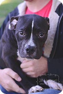 Terrier (Unknown Type, Medium) Mix Dog for adoption in Edwardsville, Illinois - Sorrel
