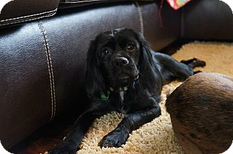 Cocker Spaniel Mix Dog for adoption in Plainfield, Illinois - Lovey