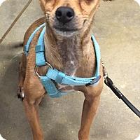 Adopt A Pet :: Charlie Brown - Orlando, FL