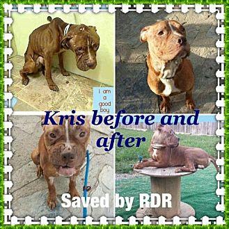 American Pit Bull Terrier Mix Dog for adoption in New York, New York - Kris