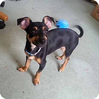 Chihuahua Mix Dog for adoption in West Allis, Wisconsin - Harrison - Adoption Pending