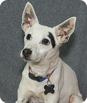 Jack Russell Terrier Mix Dog for adoption in Elmwood Park, New Jersey - Jack