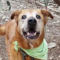 Labrador Retriever Mix Dog for adoption in Lago Vista, Texas - Bacardi