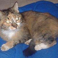 Calico Cat for adoption in Elk Grove, California - Camille
