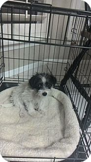 Terrier (Unknown Type, Small) Mix Puppy for adoption in San Antonio, Texas - Papi
