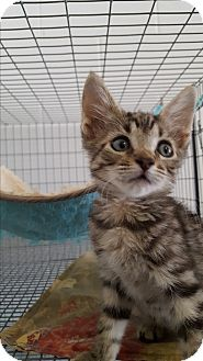 Domestic Shorthair Kitten for adoption in Umatilla, Florida - Houdini
